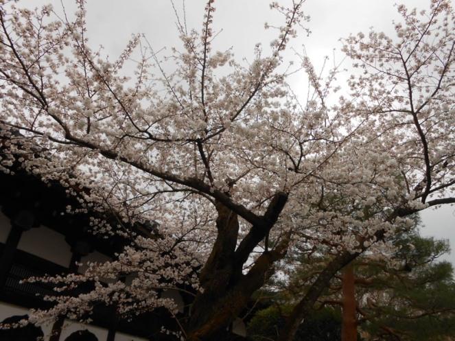 Cherryblossom_Kyoto_01