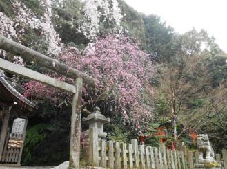 Cherryblossom_Kyoto_03