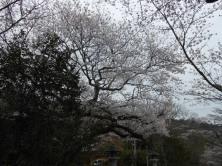 Cherryblossom_Kyoto_04