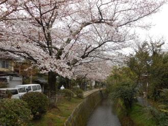 Cherryblossom_Kyoto_06