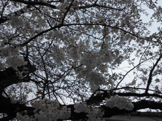 Cherryblossom_Kyoto_08