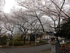 Cherryblossom_Tokyo_02