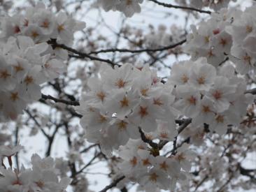 Cherryblossom_Tokyo_04
