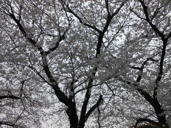Cherryblossom_Tokyo_05