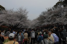 Cherryblossom_Tokyo_06