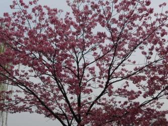 Cherryblossom_Tokyo_10