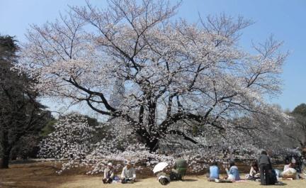 Cherryblossom_Tokyo_12