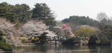 Cherryblossom_Tokyo_13_long