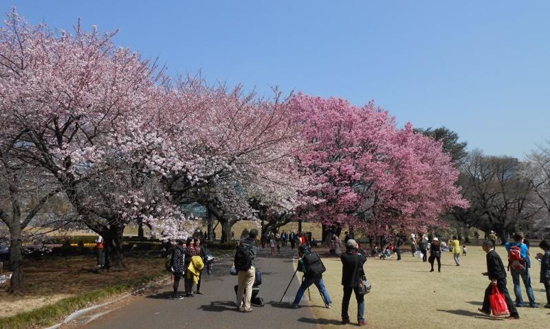Cherryblossom_Tokyo_15