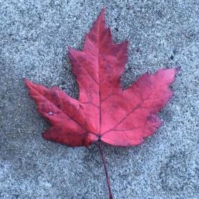 Vancouver_leaf
