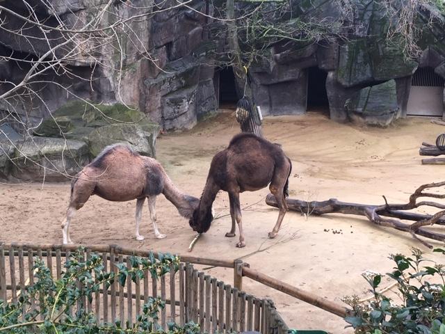 AntwerpZoo_Camel