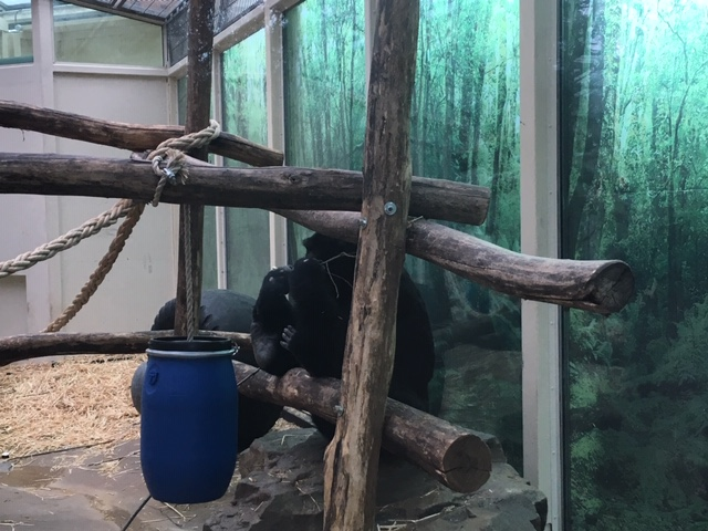 AntwerpZoo_chimp