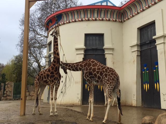 AntwerpZoo_giraffe