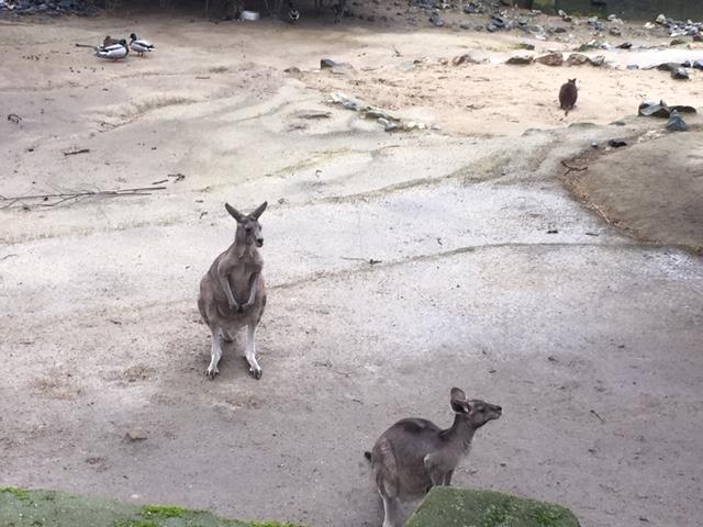 AntwerpZoo_kangaroo