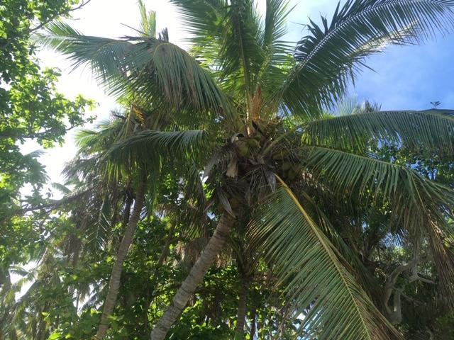 1_Dravuni_cocpnuttree_02